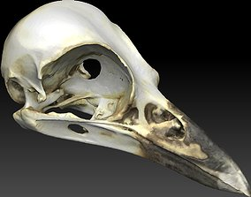 Bird Skull 3D Scan textured