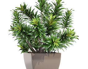 Dracaena tree tropical 3D model