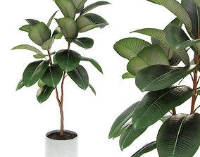 Ficus elastica decora medium 3D