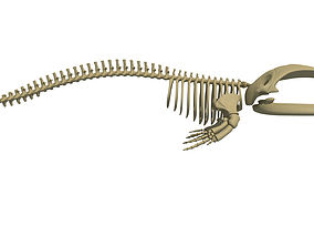 Right Whale Skeleton 3D