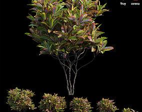 3D Croton plant set 14