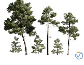 3D model Pinus Brutia -Turkish Pines bundle -
