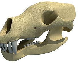 3D model Polar Bear Skull