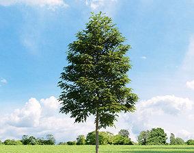 3D Quercus palustris 011 v3 AM136