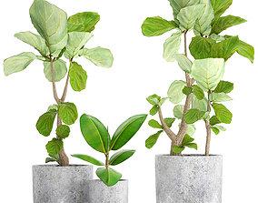 ficus 3D model Ficus Lyrata Trees