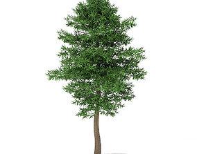 Scots Pine Tree Pinus sylvestris 10m 1 3D