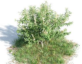 3D model Brunfelsia americana 08 am154