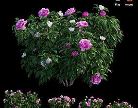 Peony plant 04 3D