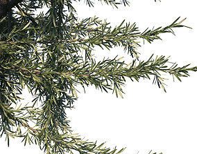3D evergreen Rosemary ornamental plant bush
