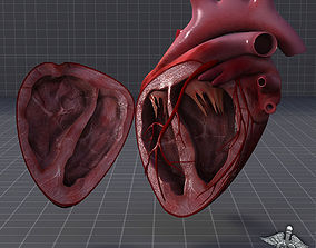 Human Heart Anatomy 1 3D