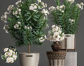 Collection Nerium oleander 2 3D