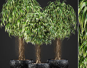 3D Ficus Alii trees