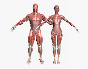 Male and Female Muscle Anatomy Combo 3D