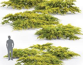 Juniperus Pfitzeriana Aurea 02 3D