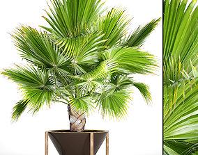 3D model Palm tree Brahea edulis 1