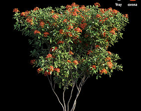 3D model Ixora plant set 07