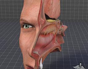 3D model Nose Anatomy