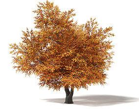 Common Oak 3D Model 9m