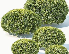 3D model Buxus Sempervirens Nr10 oval