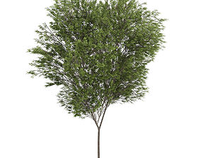 3D model Common beech