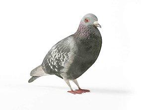 3D Grey Pigeon