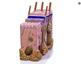 Skin Anatomy 3D