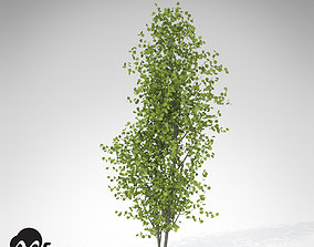 3D model XfrogPlants European Aspen