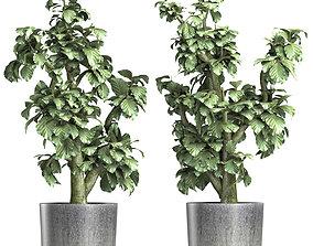 3D Plants Collection 144 Sageretia Theezans