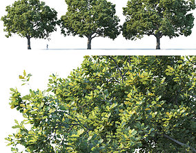 3D model Common oak Nr3 H16-19m Three tree set