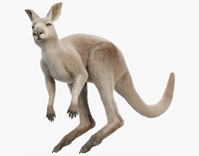 Kangaroo Rigged with Fur 3D model
