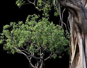 Ficus tinctoria 3D model