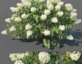 Hydrangea Paniculata Nr3 - Limelight XL - 3 3D model