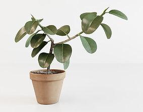 Ficus elastica 3D