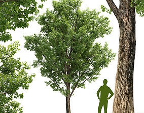 Poplar Populus deltoides V2 3D model