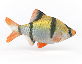 Tiger Barb Fish 3D model