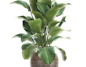 Ornamental plant Calathea lutea in baskets 753 3D model