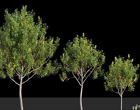 3D Banksia Integrifolia