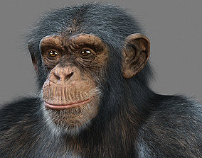3D model Chimpanzee with realistic fur