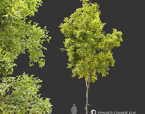 Ulmus parvifolia dynasty -Dynasty chinese elm 2 3D model