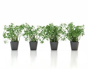 3D Parsley Pot Plant