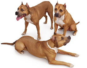 Staffordshire Bull Terrier x3 3D model