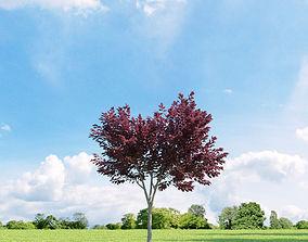 3D model Prunus blireana 013 v3 AM136