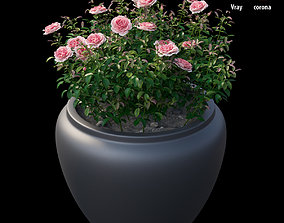 3D Rose plant in pot set 02