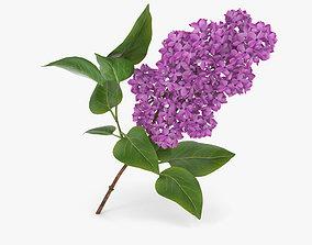 flowers Lilac 3D model