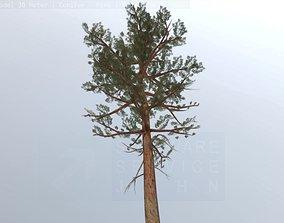 3D model game-ready Pine Conifer - Tree 30 Meter