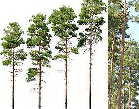 3D Pinus sylvestris Nr11 H17-22m Four tree set