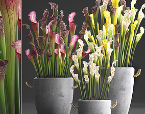 Collection of Exotic Plants Sarracenia 377 3D