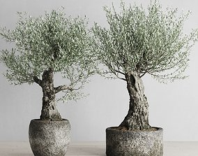 3D model Old Olive Trees In Stone Pots