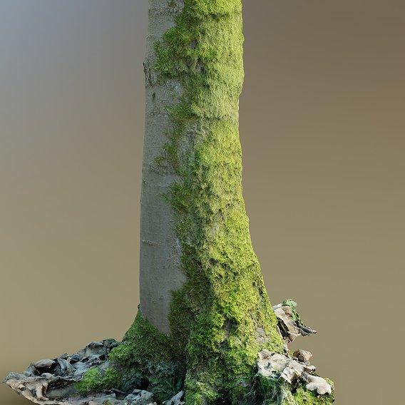 Mossy beech tree trunk