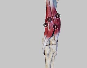 Knee Flexors 3D asset